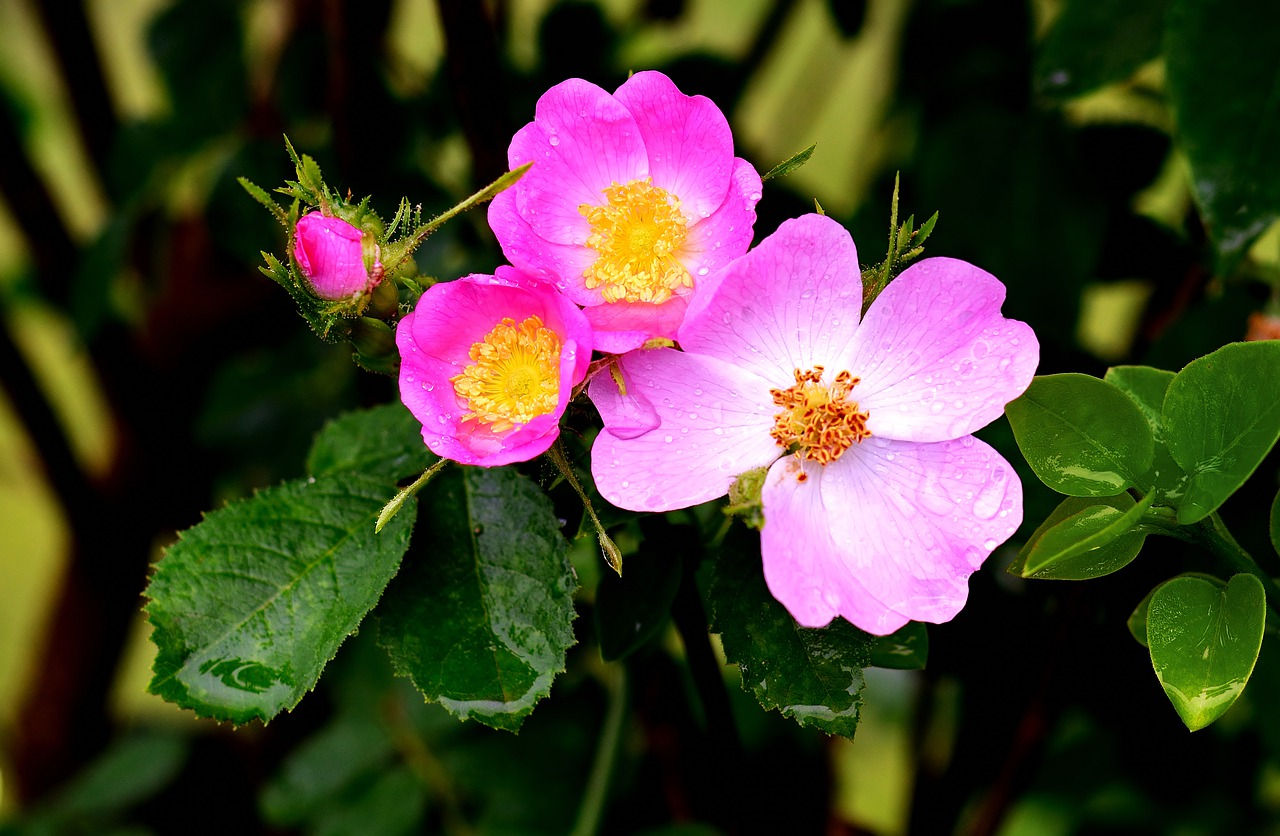wild-rose-4277285_1280